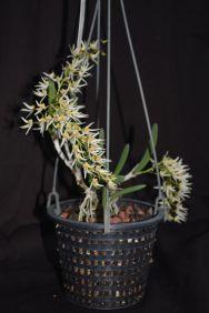 Dockrillia gramesii x nugentii 'Gold Heart'