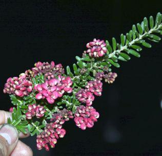Grevillea lanigera (Wilson's Prom form)