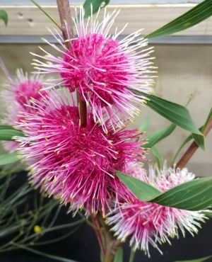 Hakea 'Stockdale Sensation'