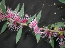 Hakea 'Burrendong Beauty'