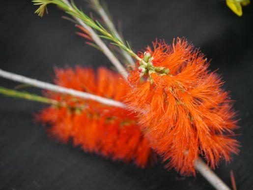 Melaleuca lateritia (Robin Redbreast bush)