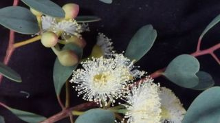Eucalyptus websteriana