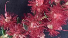 Verticordia grandis (Scarlet Featherflower)