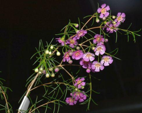 Chamelaucium uncinatum (Geraldton Wax)