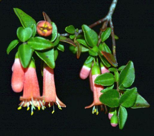 Correa pulchella (tangerine)