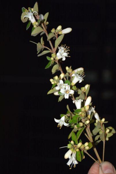 Correa pulchella (white)