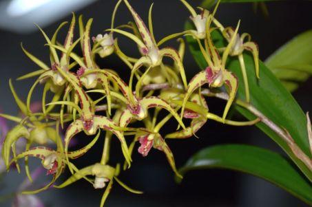 Dendrobium hybrid