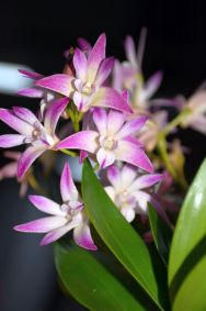Dendrobium 'Louise's Rainbow'