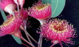 Eucalyptus caesia ssp. magna 'Silver Princess'