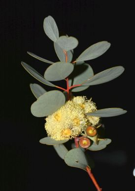 Eucalyptus websteriana (Webster's Mallee)
