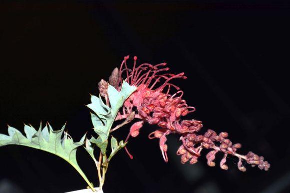 Grevillea bipinnatifida (Boystown form)