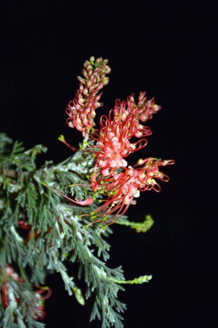 Grevillea preissii ssp. glabrilimba