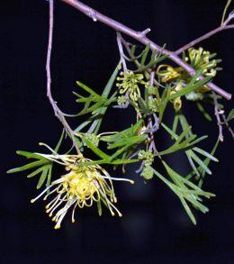 Grevillea 'Winpara Gold'