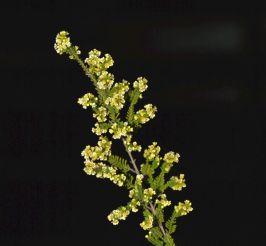 Micromyrtus leptocalyx