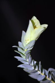 Pimelea physodes (Qualup Bell)