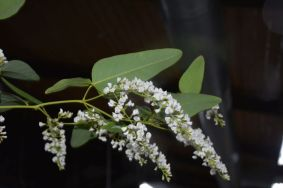 Hardenbergia violacea (white form)