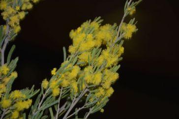 Acacia flexifolia