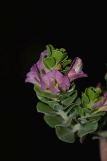 Eremophila cuneifolia (pink calyx)