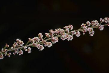 Micromyrtus ciliata (Fringed Heath Myrtle)