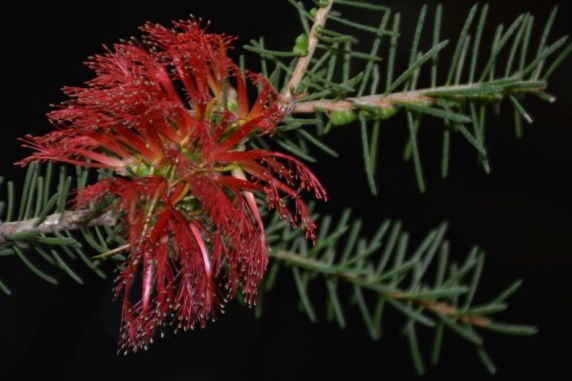 Calothamnus quadrifidus (low form)