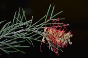 Grevillea 'Spirit of Anzac'