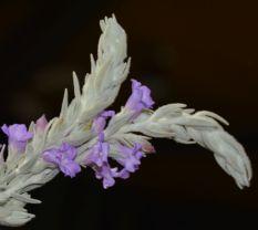 Eremophila nivea (Silky Eremophila)