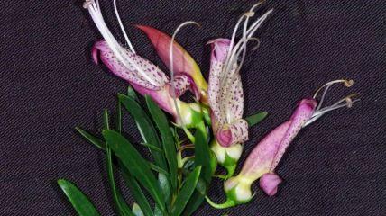Eremophila maculata 'Wendy'