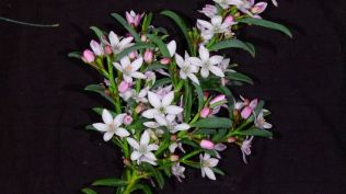 Philotheca myoporoides (Long-leaf Waxflower)