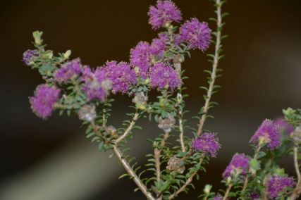 Melaleuca leptospermoides