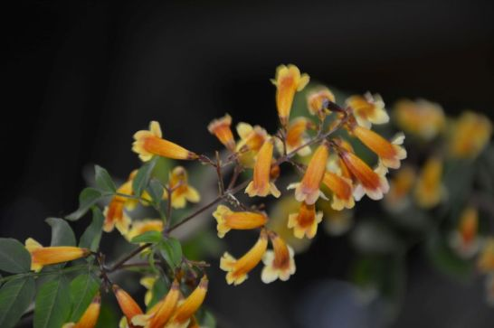 Pandorea pandorana 'Golden Showers'