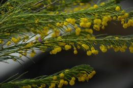 Acacia laricina