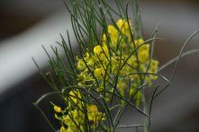 Senna nemophila (Desert Cassia)