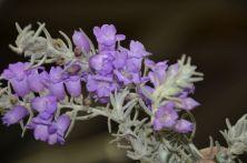 Eremophila nivea 'Blue Velvet'