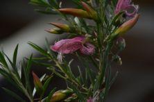 Eremophila maculata x alternifolia