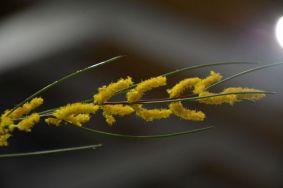 Acacia laracina