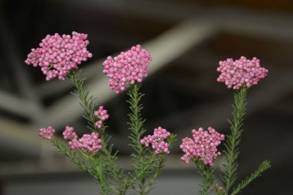 Ozothamnus diosmifolius 'Royal Flush' (Rice Flower)