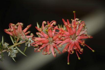 Grevillea 'Poorinda Adorning'
