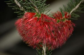 Calothamnus quadrifidus (One-sided Bottlebrush)