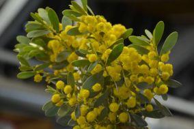 Acacia argyrophylla (Silver Mulga)