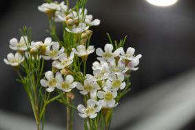 Chamelaucium uncinatum hybrid (Geraldton Wax)