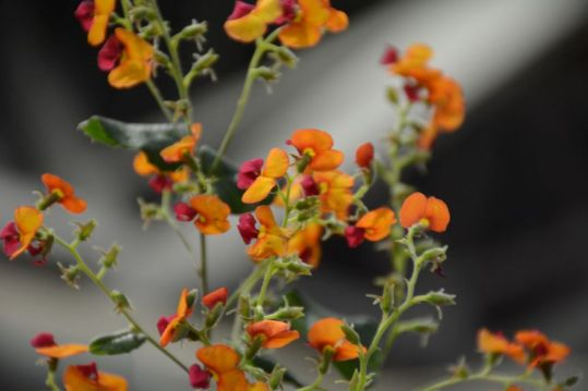 Chorizema cordatum (Heart-leaf Flame Pea)