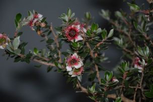 Leptospermum 'Mesmer Eyes'
