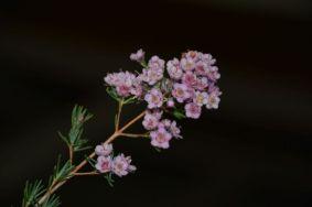 Chamelaucium x Verticordia 'Paddy's Pink'