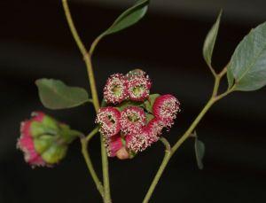 Eucalyptus cernua