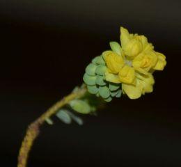 Geleznowia verrucosa
