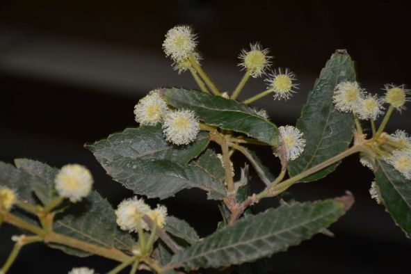 Callicoma serratifolia (Black Wattle NSW)
