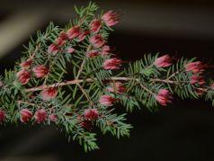 Darwinia taxifolia ssp macrolaena