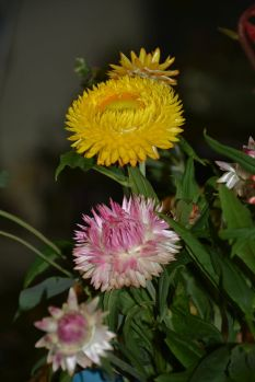 Xerochrysum hybrids