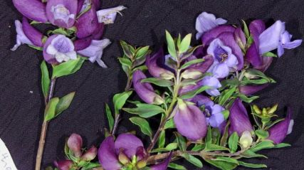 Prostanthera magnifica (Magnificent Prostanthera)