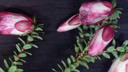 Darwinia macrostegia (Mondurup Bell)